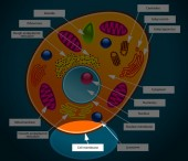 Kids learn about an important part of the animal cell - the cell membrane.