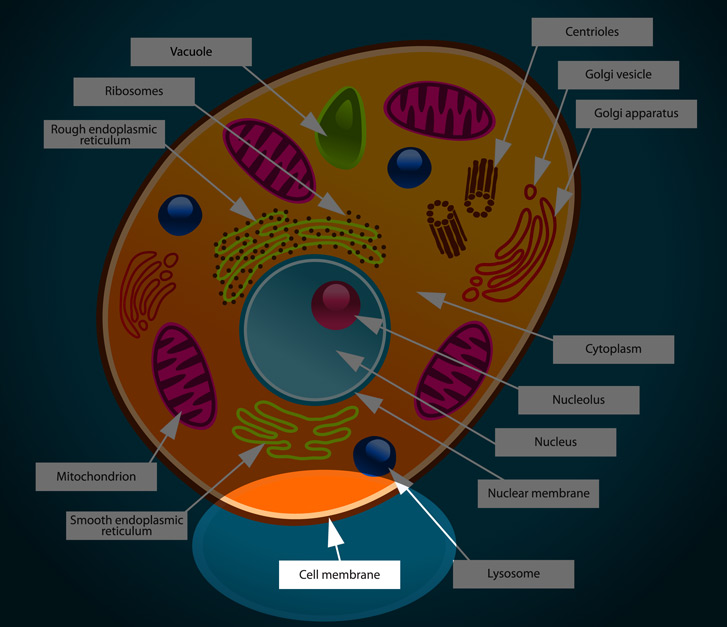 Animal Cell Membrane Diagram Labeled