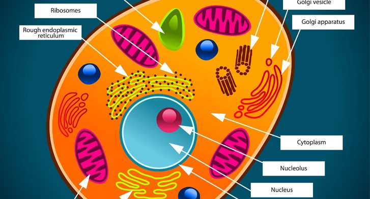 parts of an animal cell Carry proteins and other materials from one part of the cell to another  does contain ribosomes, but no other organelles found in plant or animal cells.