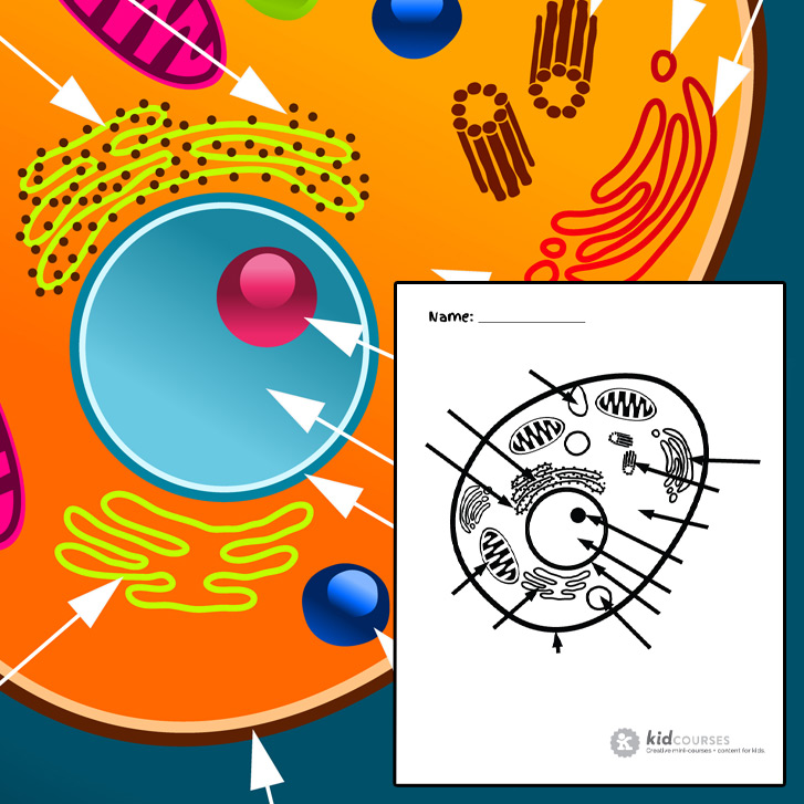 animal cell - free printable to label + colorkidcourses.com - Animal Cell Coloring Page Answers