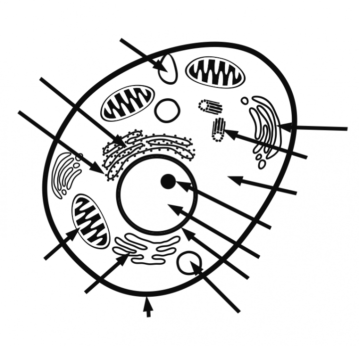 Animal cell diagram without labels animal cell diagram without labels photo11 ccuart Image collections